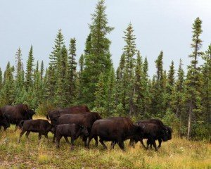 the Wood Buffalo National Park